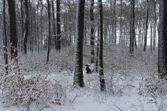 Ein Auerhahn im Schnee